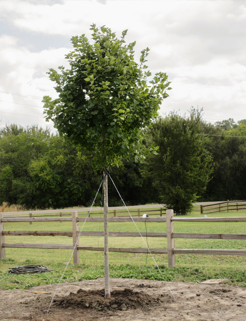 Brandywine Maple tree planted in a backyard by Treeland Nursery.