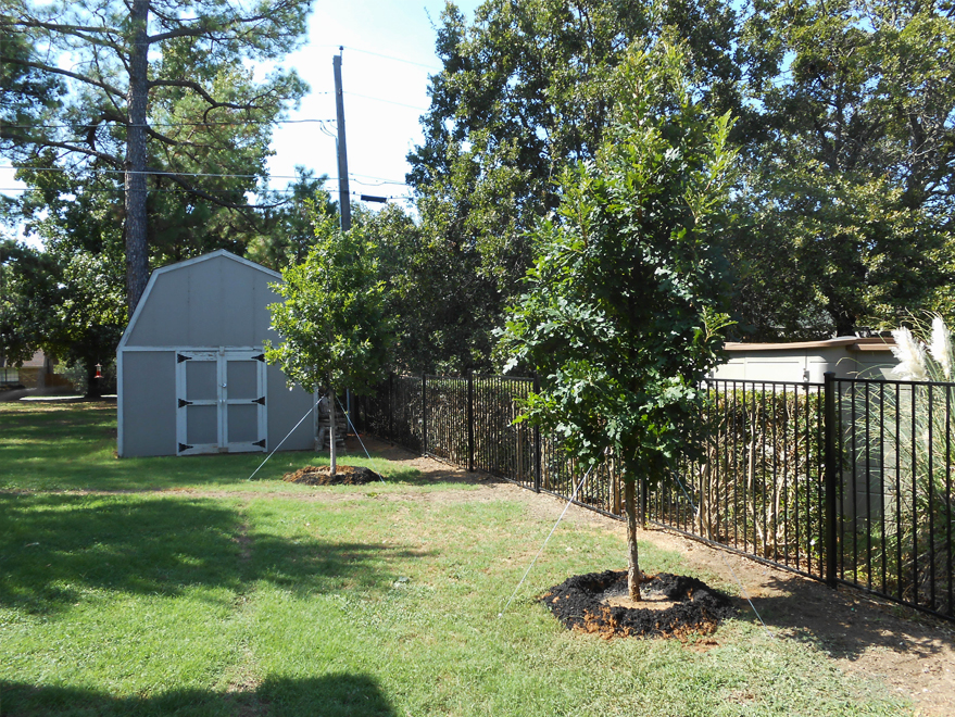 Bur Oak and Red Oak trees planted in a backyard by Treeland Nursery in North Texas.