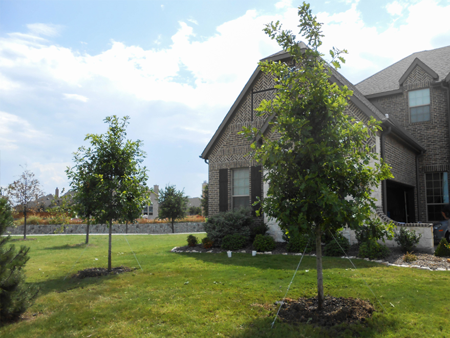 Bur Oak Trees planted in a frontyard in Plano, Texas by Treeland Nursery.