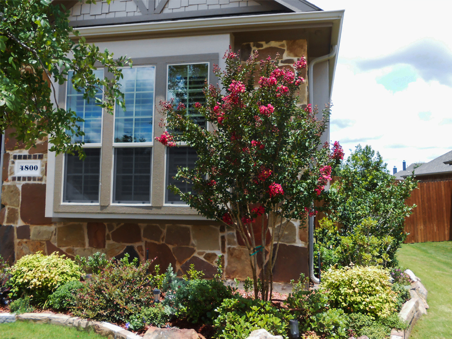 Centennial Crape Myrtle tree with deep magenta/ red flowers planted in a flowerbed by Treeland Nursery.