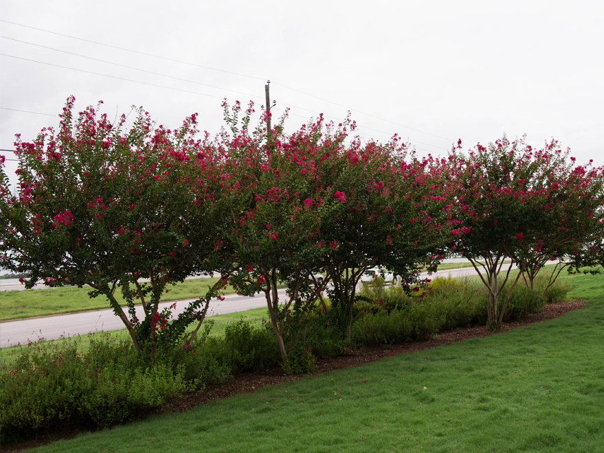 Gorgeous row of blooming Centennial Crape Myrtles found in Dallas, TX. Photographed by Treeland Nursery.