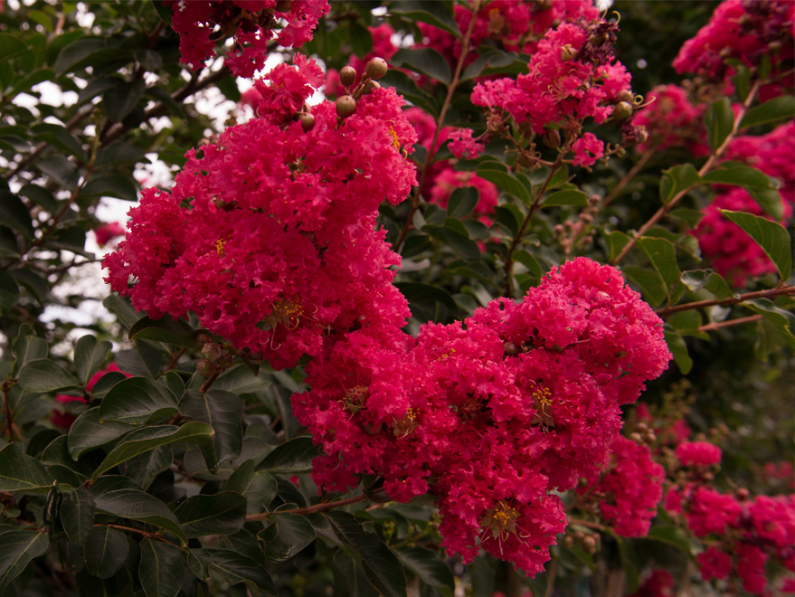 Beautiful full blooms on a Centennial Crape Myrtle at Treeland Nursery. Photographed at Treeland Nursery.