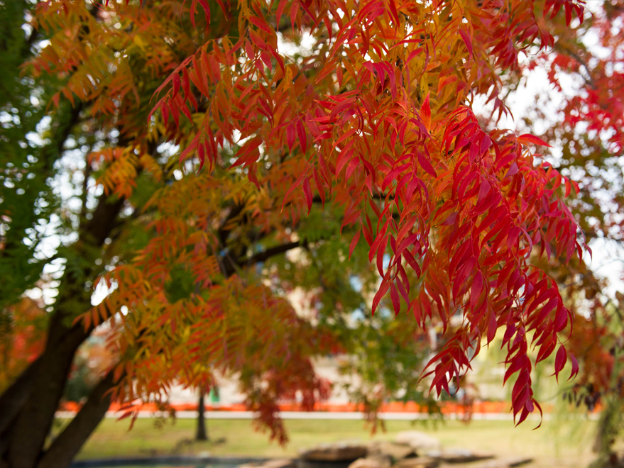 Chinese Pistachio Tree photographed during the Fall at Central Park in Frisco, Texas.  Photographed by Treeland Nursery.