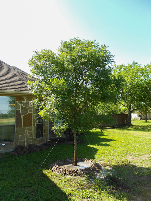 Chinese Pistachio Tree planted in a backyard by Treeland Nursery.