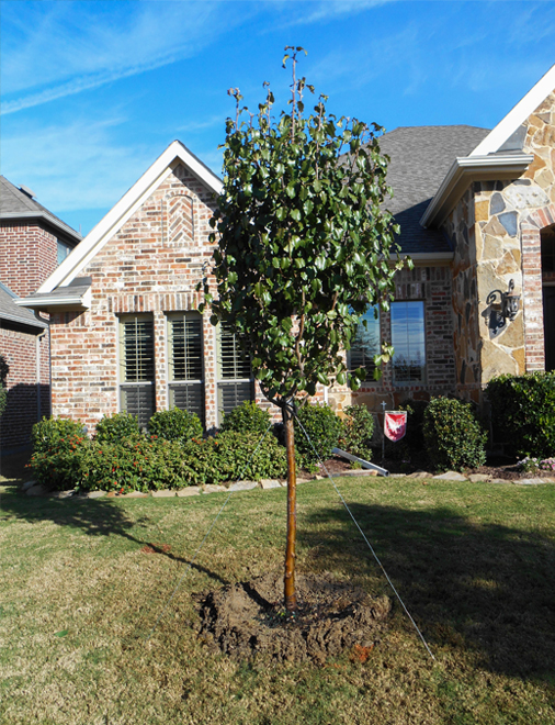Cleveland Select Pear Tree planted in a frontyard in Prosper, Texas by Treeland Nursery.