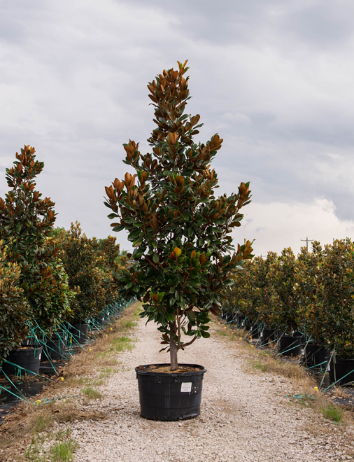 DD Blanchard Magnolia in a container photography at our tree farm north of Dallas, Texas by Treeland Nursery.