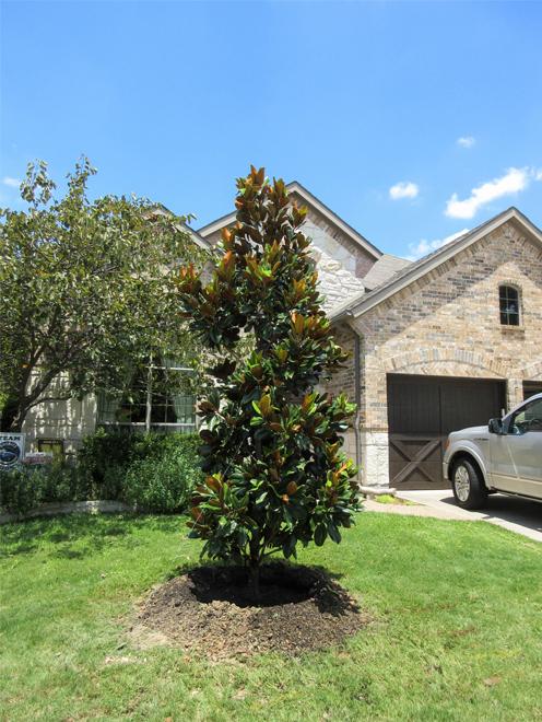 Large DD Blanchard Magnolia planted in a frontyard by Treeland Nursery.