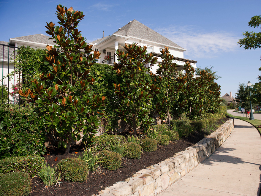 A row of DD Blanchard Magnolias planted in Carrollton, Texas to create a privacy screen. Photographed by Treeland Nursery.
