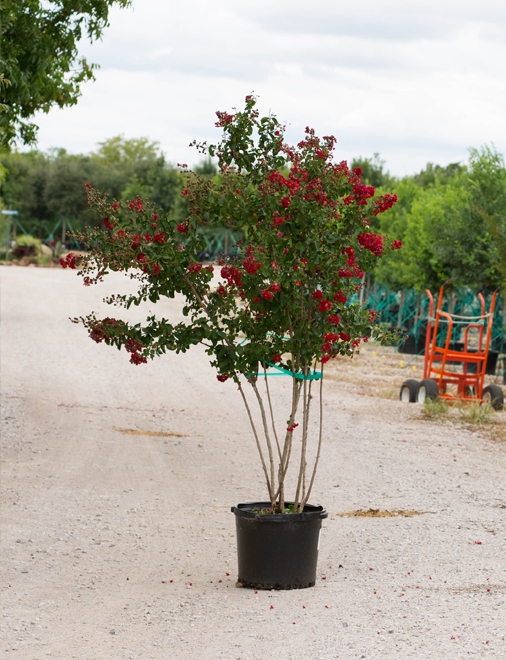 Dynamite Crape Myrtle with deep red clusters of flowers. Picture was taken by Treeland Nursery in north Texas.