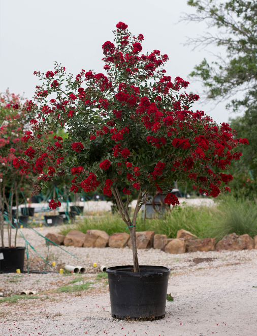 Dynamite Crape Myrtle with deep red flowers. Picture taken by Treeland Nursery at our tree farm north of Dallas, Texas.