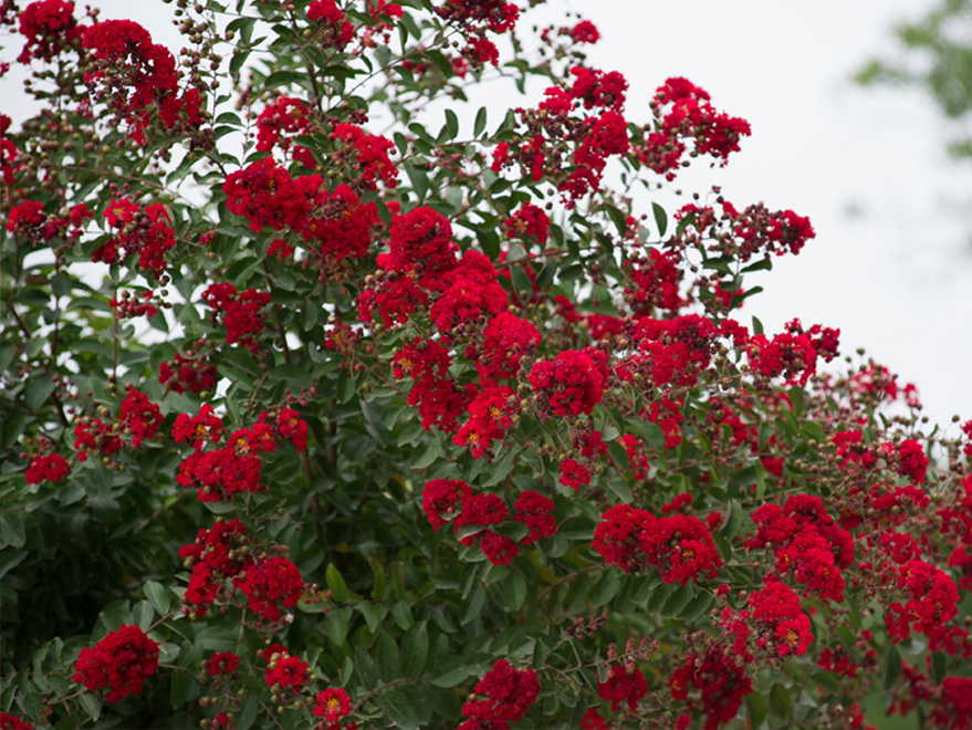 Dynamite Crape Myrtle have bright red flower clusters covering the tree. Photographed by Treeland Nursery.