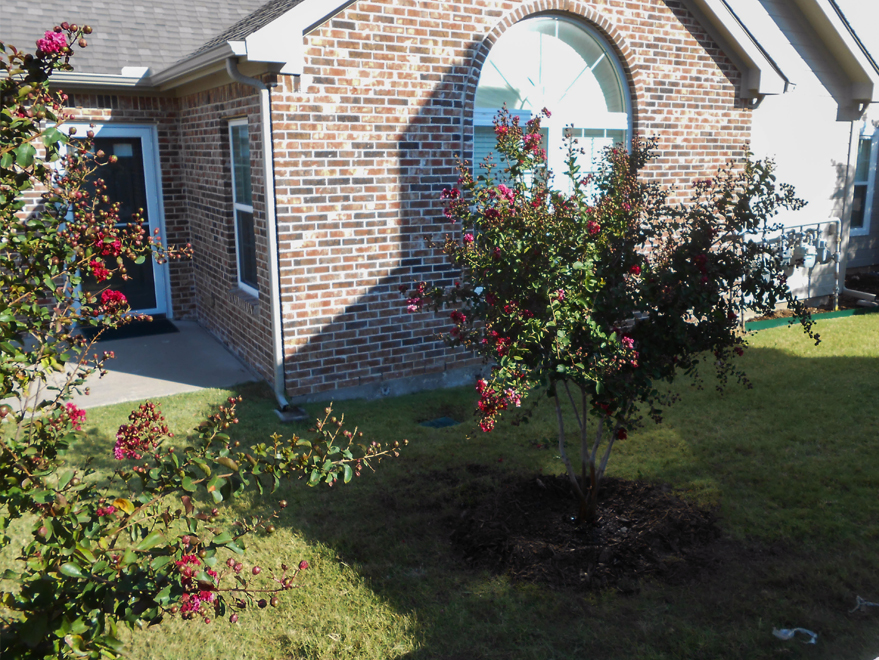 Dynamite Crape Myrtle planted in a backyard by Treeland Nursery.