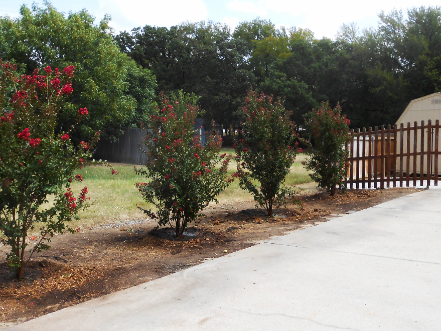 Dynamite Crape Myrtle planted along a driveway by Treeland Nursery in Argyle, Texas.