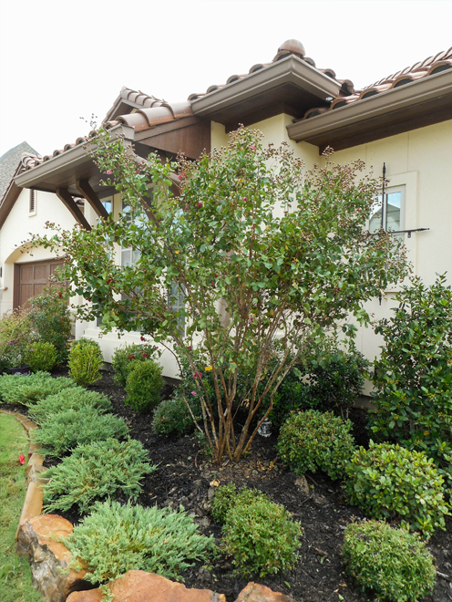 Dynamite Crape Myrtle planted by Treeland Nursery in a frontyard flowerbed and surrounded by beautiful landscaping.