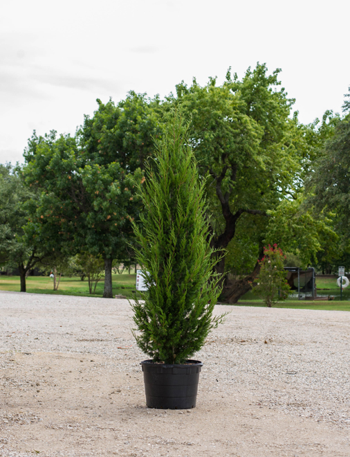 Beautiful Eastern Red Cedar Brodie with dark green foliage. Photography by Treeland Nursery which is north of Dallas, Texas.