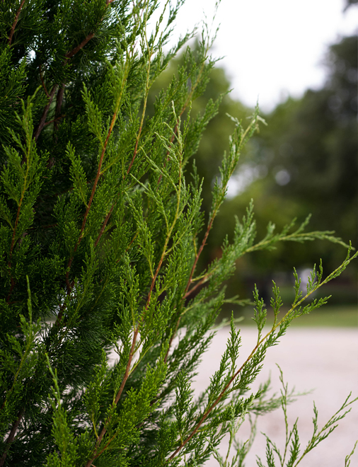 Leaf detail of an Eastern Red Cedar Brodie Tree. Photography by Treeland Nursery.