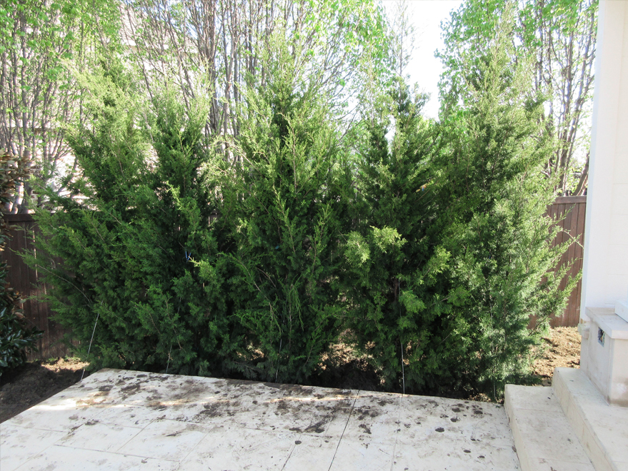 Row of Eastern Red Cedar 'Brodies' planted tightly together to form an instant privacy screen.