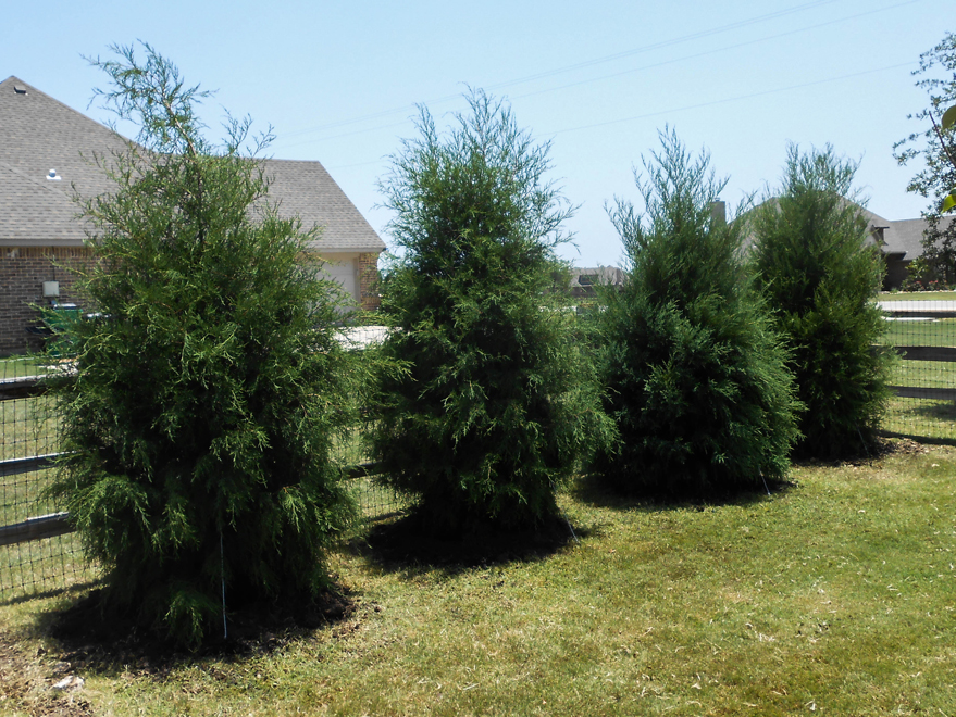 A row of Eastern Red Cedar Trees used to create a privacy screen which were planted Treeland Nursery.