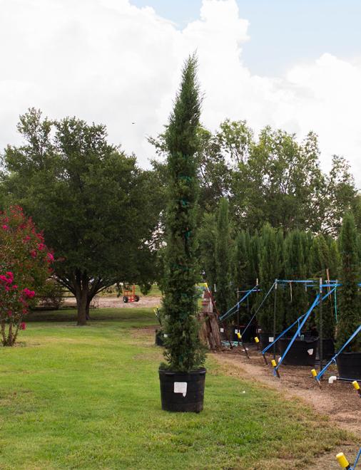 Dallas Sales Tax >> Italian Cypress Tree - Dallas, Texas - Treeland Nursery