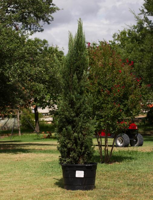 Italian Cypress Image