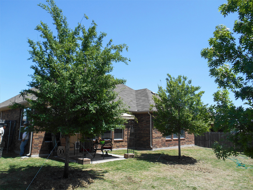 Lacebark Elm Trees planted in a backyard to create lots of shade around a patio. Photgraphed by Treeland Nursery.