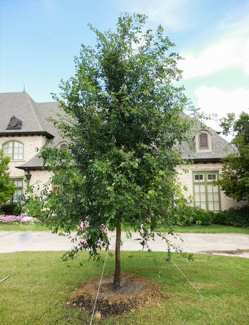 Lacebark Elm Tree planted in a frontyard in Dallas, Texas by Treeland Nursery.