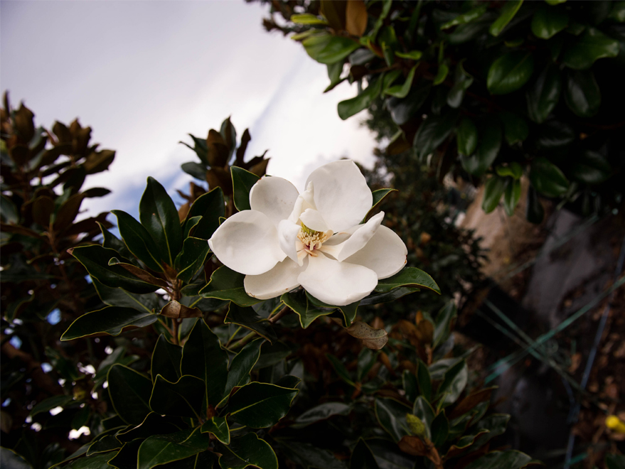 Flower Detail on a Little Gem Magnolia Tree at Treeland Nursery. Photographed at Treeland Nursery.