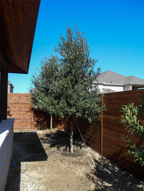 Live Oak Trees planted along a backyard fence for privacy screening. Trees provided by and planted by Treeland Nursery.