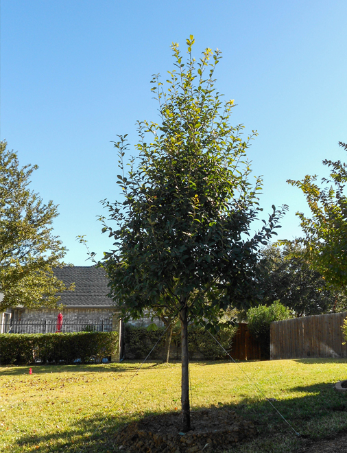 Beautiful Monterrey Oak Tree planted in a backyard at Plano, Texas by Treeland Nursery.