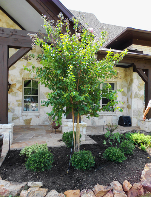 Muskogee Crape Myrtle planted and installed by Treeland Nursery. Purple flowering trees for landscaping in Plano, Texas.