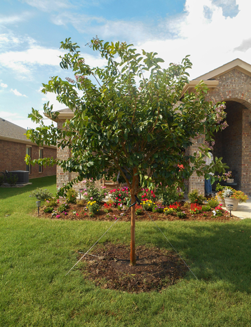 Muskogee Crape Myrtle planted and installed by Treeland Nursery. Purchase flowering trees North of Keller, Texas.