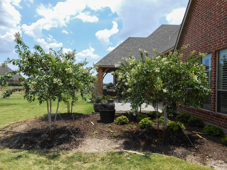 Grouping of 4 Natchez Crape Myrtle Trees planted and installed by Treeland Nursery in a backyard. White Flowering trees for sale in Dallas, Texas.