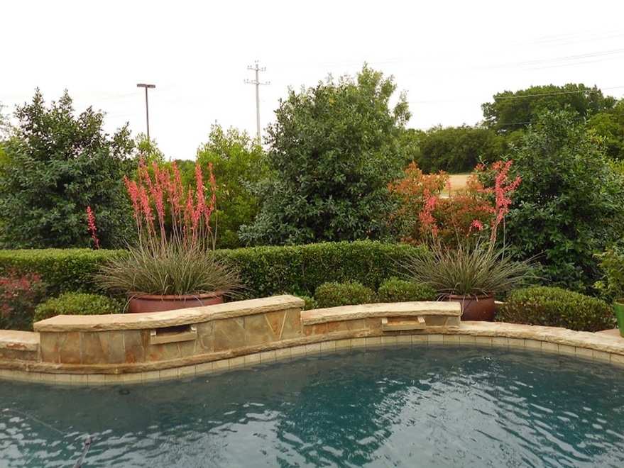 Nellie R Stevens Hollies planted in a backyard flowerbed between a pool and road to create privacy. Holly trees for sale for privacy screening landscapes in Dallas, Texas.