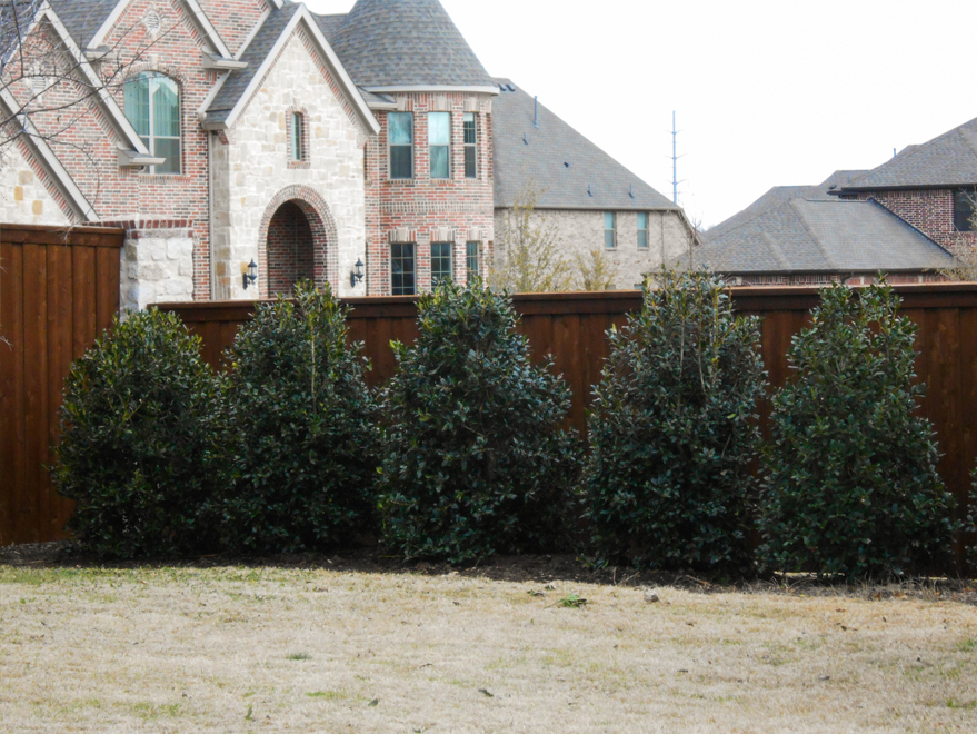 Nellie R Stevens Hollies planted in a backyard along a fence; to create a privacy screen. Evegreen green trees for sale in Southlake, Texas.