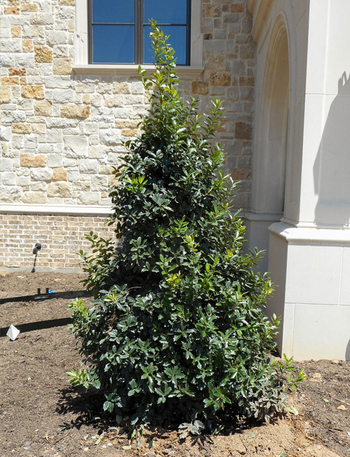 Oak Leaf Holly planted and installed in a frontyard flowerbed by Treeland Nursery. Evergreen trees for landscapes in Keller, Texas.