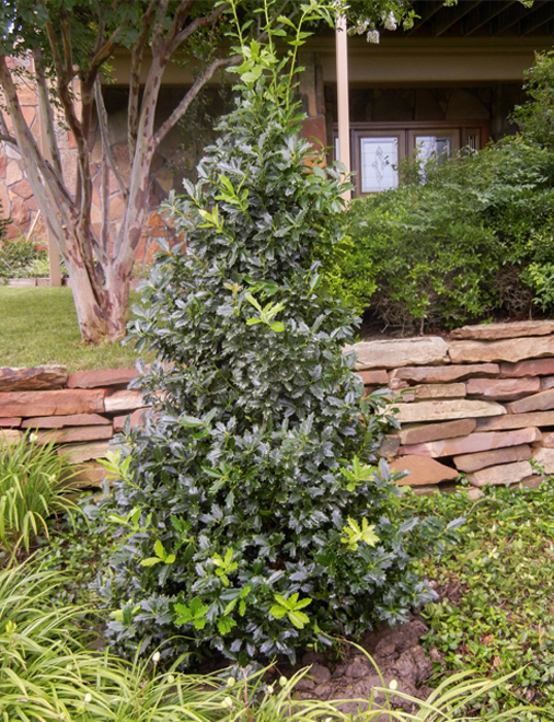 Oak Leaf Holly planted and installed in a backyard flowerbed by Treeland Nursery. Evergreen trees available in North Texas.