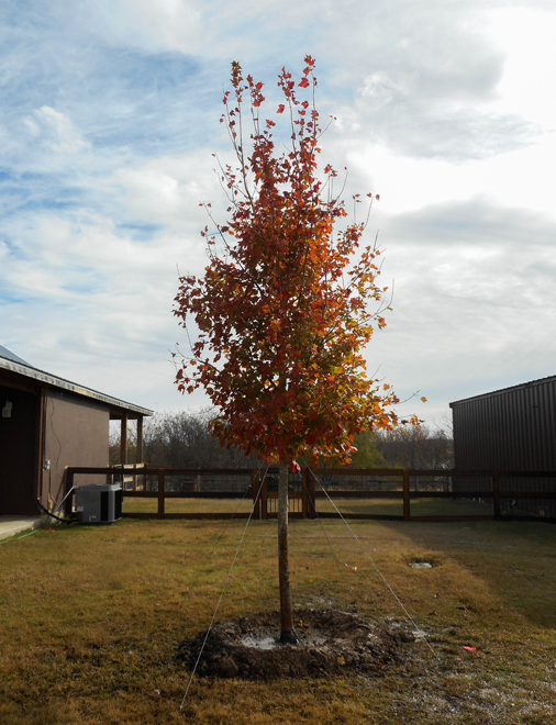 October Glory Maple planted and installed in the Fall by Treeland Nursery. Shade trees for sale in Mckinney, Texas.