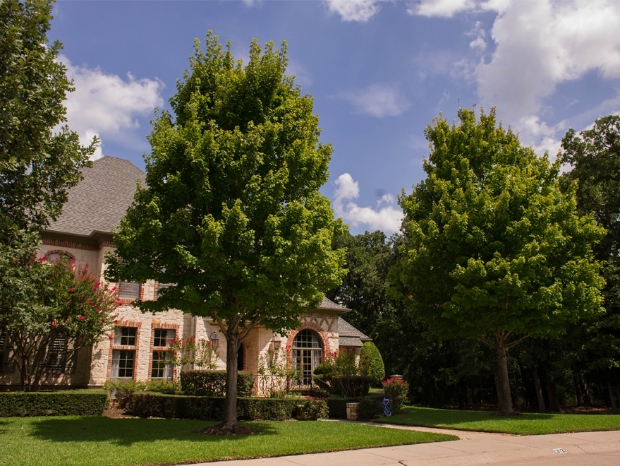 Maturing October Glory Maples found in Plano, Texas. The best shade trees for North Texas landscapes.