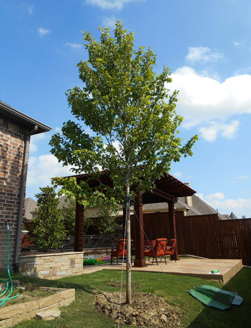 Large October Glory Maple installed and planted in a backyard by Treeland Nursery. Shade trees with fall color for North Texas landscapes.