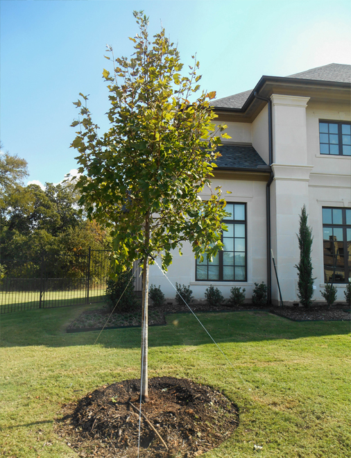 October Glory Maple installed and planted in a North Texas frontyard by Treeland Nursery. Shade trees in Prosper, Texas for North Texas landscapes.
