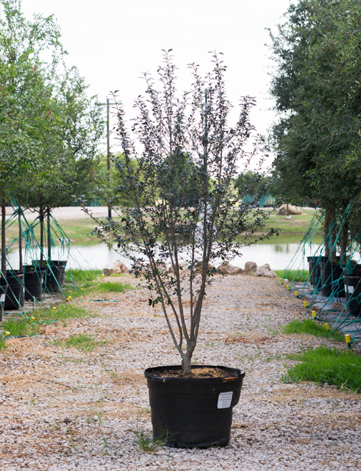 Possumhaw Holly planted by Treeland Nursery in North, Texas. Fall interest plants for North, Texas.
