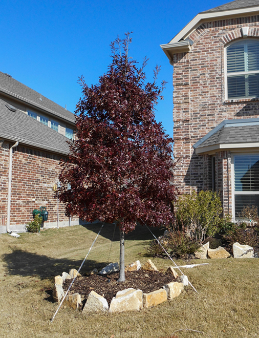 Red Oak Tree planted in the Fall by Treeland Nursery in a Frisco, Texas frontyard.