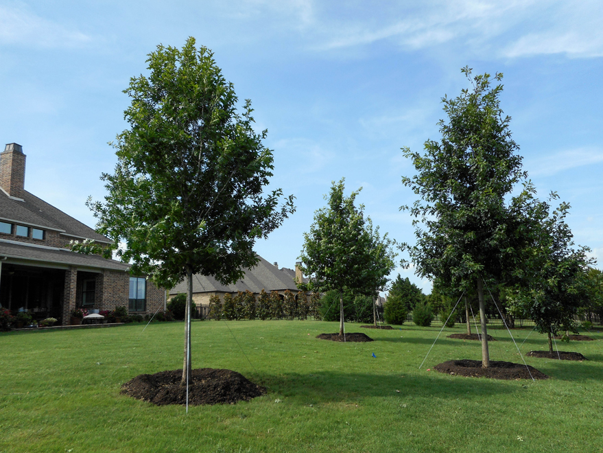 Several Shumard Red Oak trees planted in a backyard to provide shade. Planted by Treeland Nursery north of Dallas, Texas.