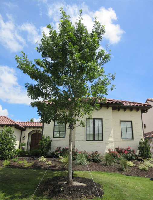 Red Oak Tree planted and installed in a frontyard in Dallas, Texas by Treeland Nursery.