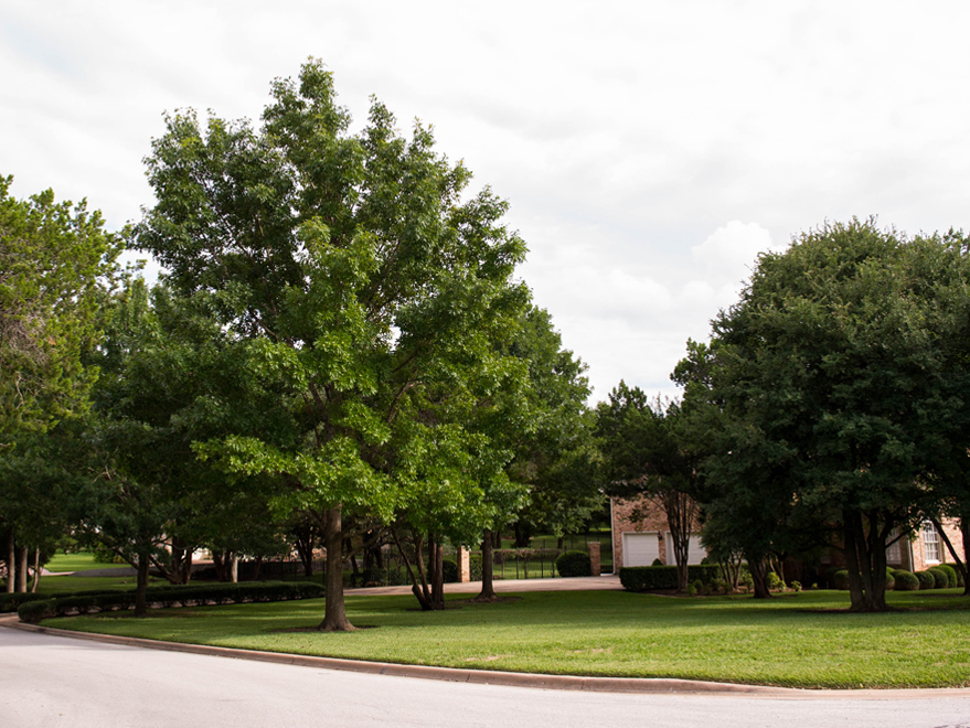 Mature Red Oak Tree on the left side of the yard. Maturing Cedar Elm on the right side. Photographed by Treeland Nursery.