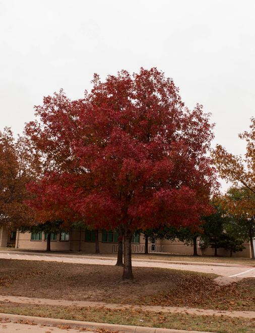Red Oaks range in color from rusty-red to a more bold red like the tree shown during the Fall. Photographed by Treeland Nursery.