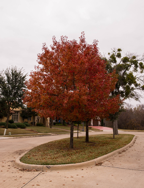 Red Oak tree with Fall color in a median in Frisco, Texas. Photographed by Treeland Nursery.
