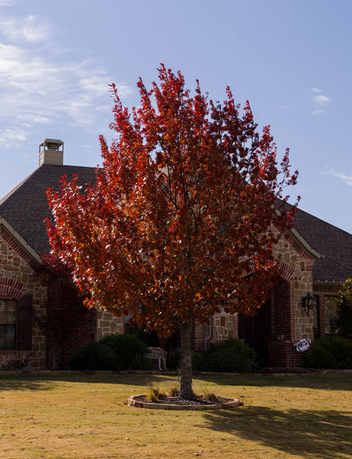 Mature Red Oak tree with Fall color in frontyard photographed by Treeland Nursery.