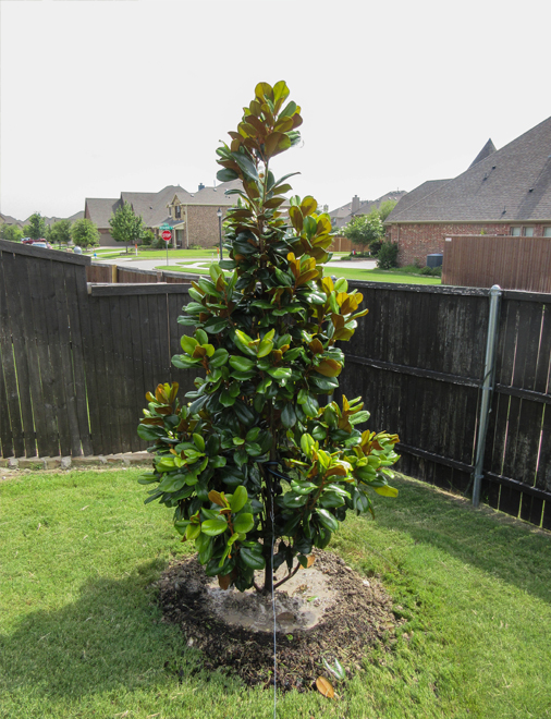 Teddy Bear Magnolia planted and installed in a backyard by Treeland Nursery. Evergreen trees that produce flowers in North Texas.