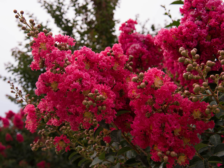 Tuscarora Crape Myrtle blooms at Treeland Nursery. Crape Myrtles bloom in the Summer. Top pink flowering trees in North Texas.